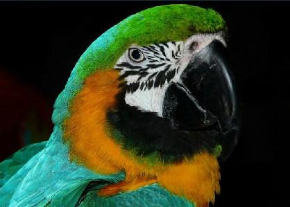 Parrots Jigsaw