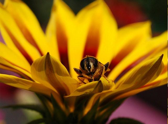 Bee on a Gazania Jigsaw