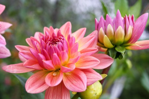 Pink Dahlia Aster Jigsaw Puzzle