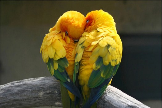 Lovebirds Pair Jigsaw Puzzle