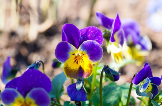 Garden Pansy Jigsaw Puzzle