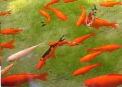 Orange Fish Jigsaw