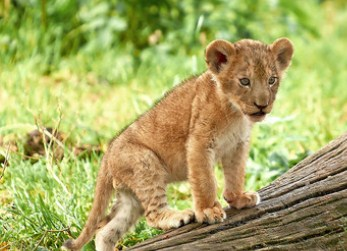 Lion Cub Jigsaw Puzzle