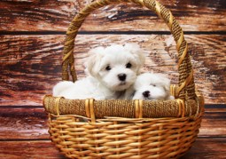 Maltese Puppies in a Basket Jigsaw Puzzle