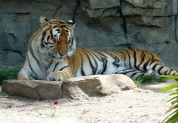 Sleepy Tigers Jigsaw