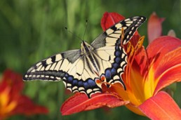 Papilio Machaon Butterfly Jigsaw Puzzle