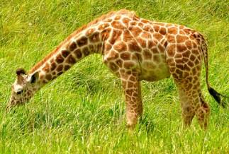 Hungry Giraffe Jigsaw Puzzle