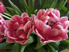 Tulips in the Springtime