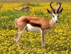 Antelope in yellow flowers