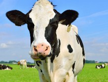 Cow In Field Jigsaw Puzzle