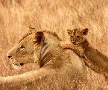 Lions Jigsaw