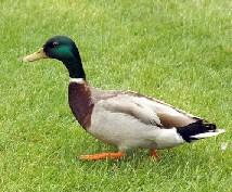 Mallard Duck Jigsaw