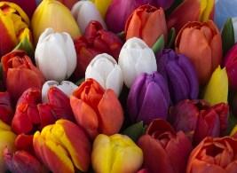 Tulips Flowers 3