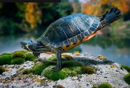Turtle Doing push ups