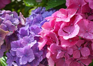 Beautiful Hydranges In The Garden Jigsaw Puzzle