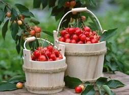 Cherries in a bucket