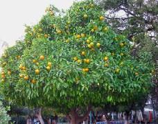 Orange Tree Jigsaw