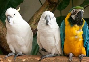3 Parrots Jigsaw