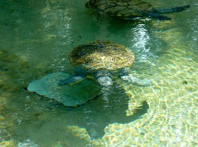Swimming Turtles Jigsaw