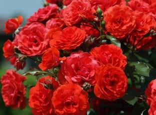 Rose Bush Jigsaw