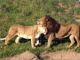 Lions Jigsaw 2