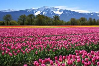Tulip Field In Canada Jigsaw Puzzle