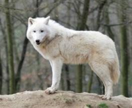 Arctic Wolf Jigsaw Puzzle
