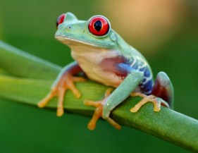 Red Eyed Tree Frog Jigsaw Puzzle