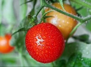 Garden Tomato Jigsaw Puzzle