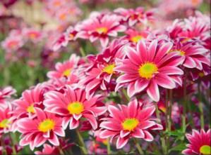 Desenhos de Bright Pink Flowers Jigsaw Puzzle para colorir