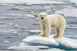 Polar Bear On Ice Jigsaw Puzzle
