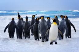 King Penguins Jigsaw Puzzle