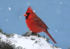 Cardinal Jigsaw Puzzle