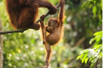 Baby Orangutan ing Jigsaw Puzzle