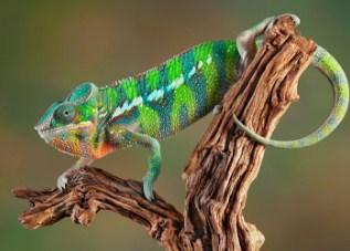 Chameleon Jigsaw Puzzle