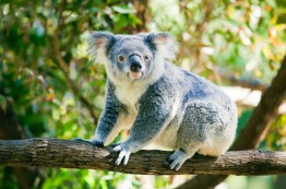 Koala Bear Jigsaw Puzzle
