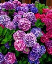 Multi Color Hydrangeas