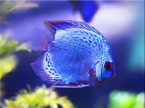 Blue Discus Jigsaw Puzzle