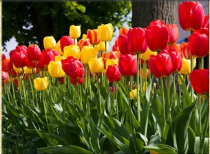 Colorful Spring Tulips Jigsaw Puzzle
