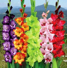 Gladiolus Jigsaw Puzzle