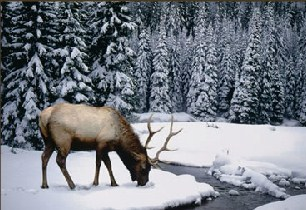 Winter Stag Jigsaw Puzzle