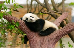 Sleeping Panda Bear Jigsaw Puzzle