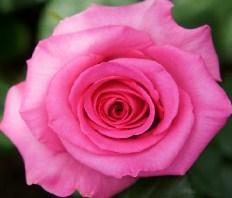 Roses Jigsaw