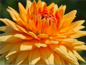 Orange Dahlia Jigsaw Puzzle