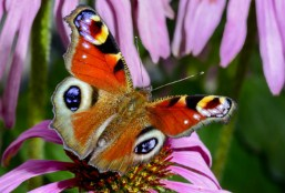 Peacock Butterfly Jigsaw Puzzle