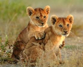 Lion Cubs Cuddling Jigsaw Puzzle