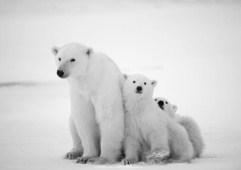 Polar Bear With Cubs Jigsaw Puzzle