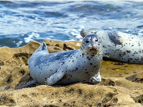 Spotted Seals Jigsaw Puzzle