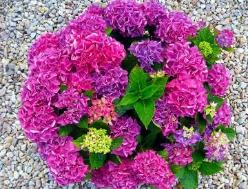 Hydrangea Flower Jigsaw Puzzle