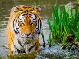 Tiger Going For A Swim Jigsaw Puzzle
